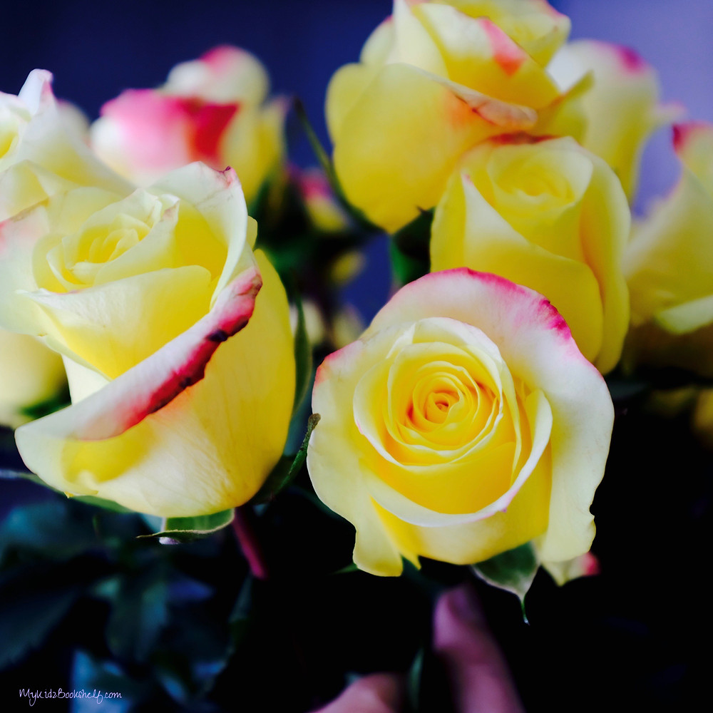 yellow roses with pink edges