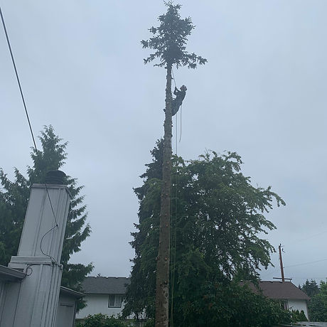Spruce Removal.jpg