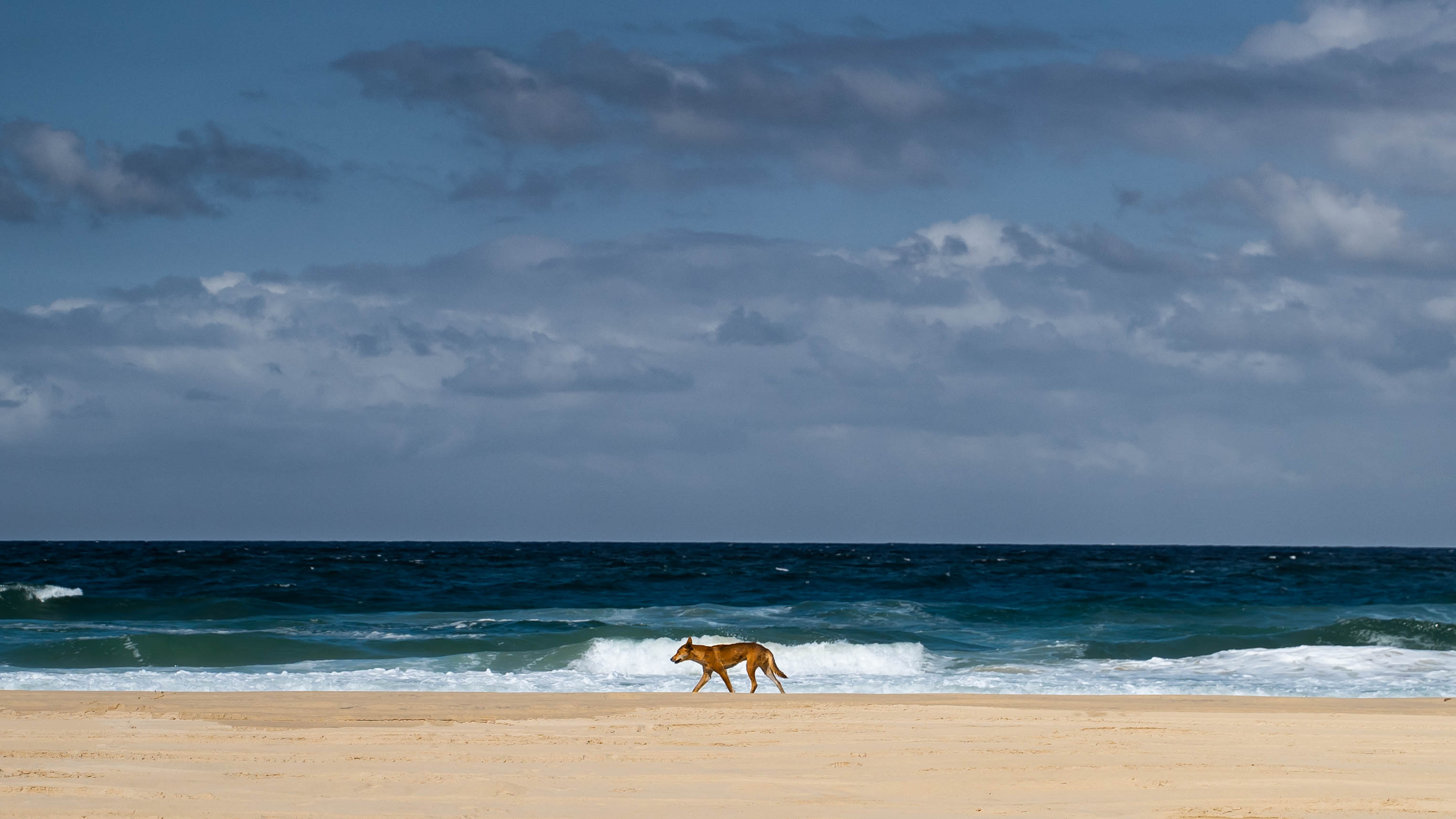 Dingo in the distance