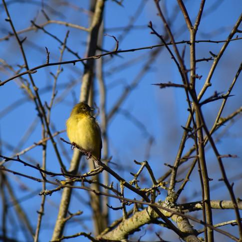 Juvenile Lesser Goldfinch