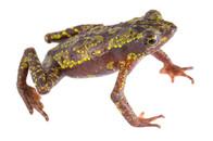 Atelopus palmatus