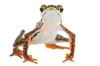 Atelopus coynei
