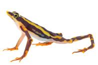 Atelopus longirostris