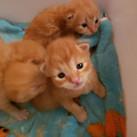 Irani kitten.jpg