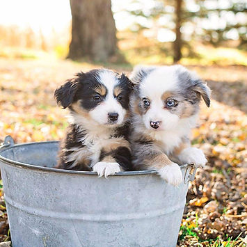Toy & Mini Aussie puppies for sale in MN