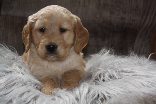 goldendoodle puppies for sale in mn