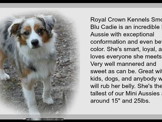 Royal Crown Kennels Smokin Blu Cadie