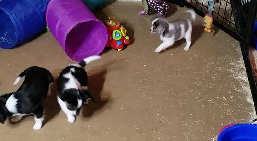 Aussalier puppies, Aussie/Cavalier