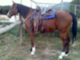 Bay gelding white socks profile conformation