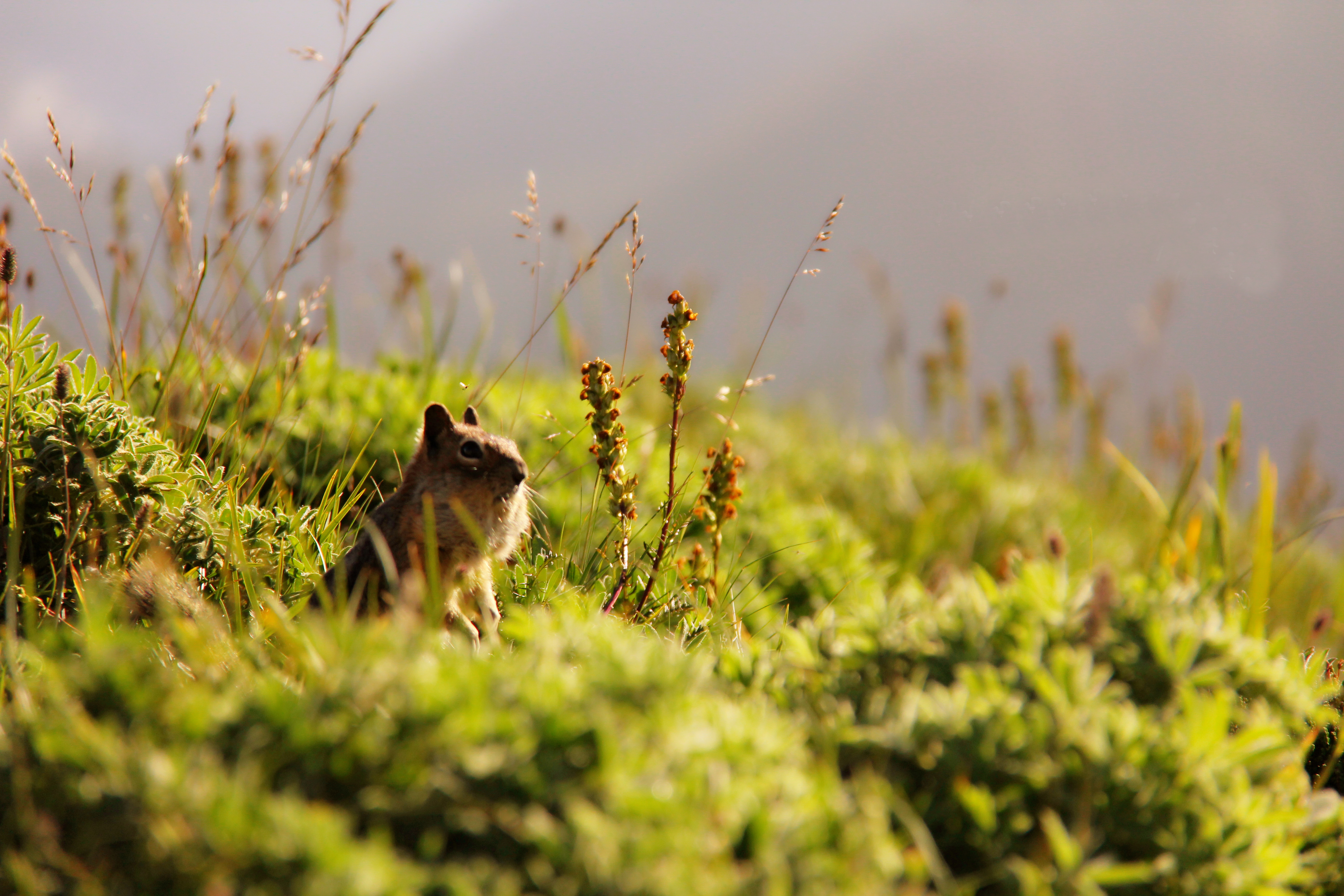 Filed Mouse,Mt Rainier