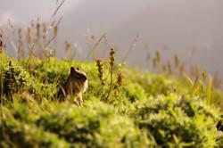 Filed Mouse,Mt Rainier