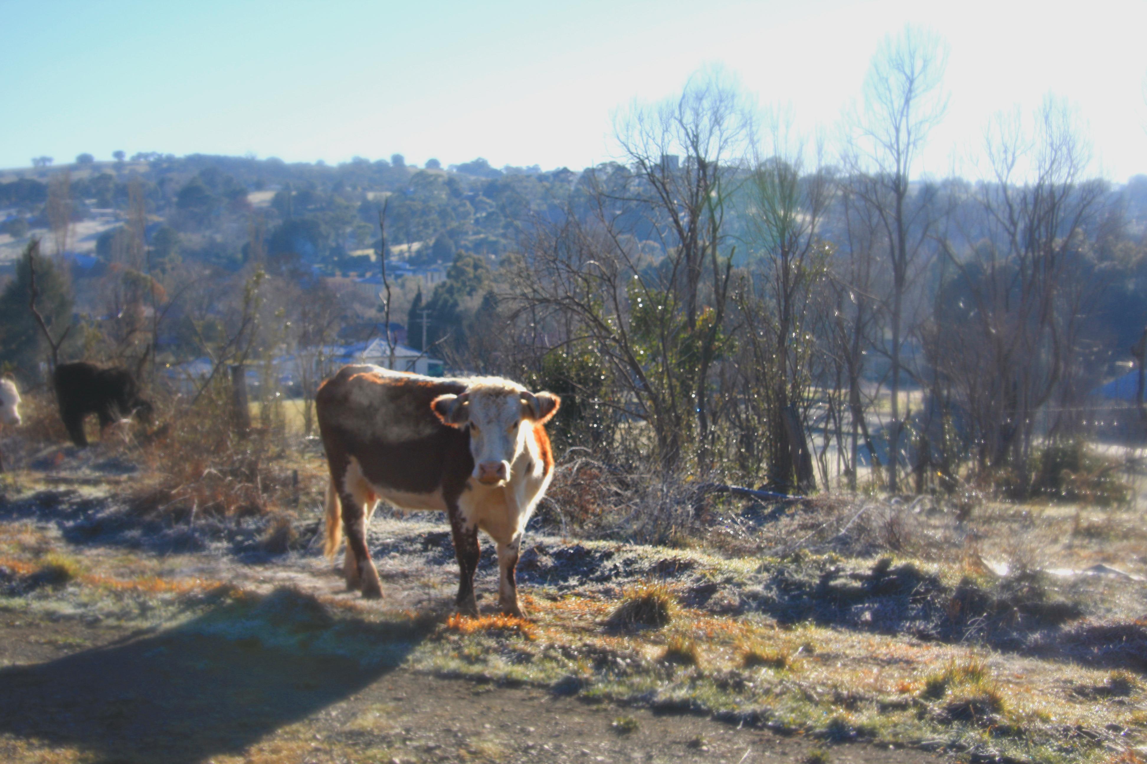cow photo2