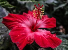 Hibiscusflower.jpg