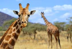 Gentle Giraffes