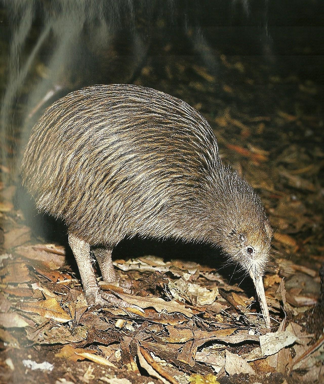 A real kiwi