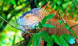 Iguana (Baby dragon)