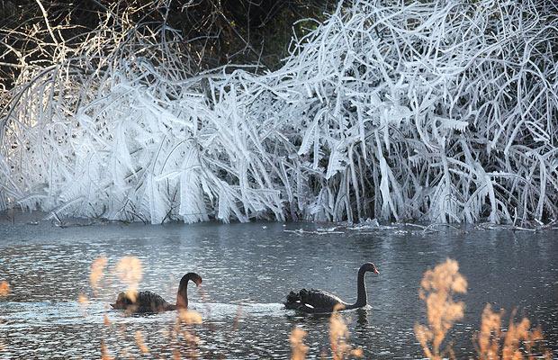 Black swans in St James park