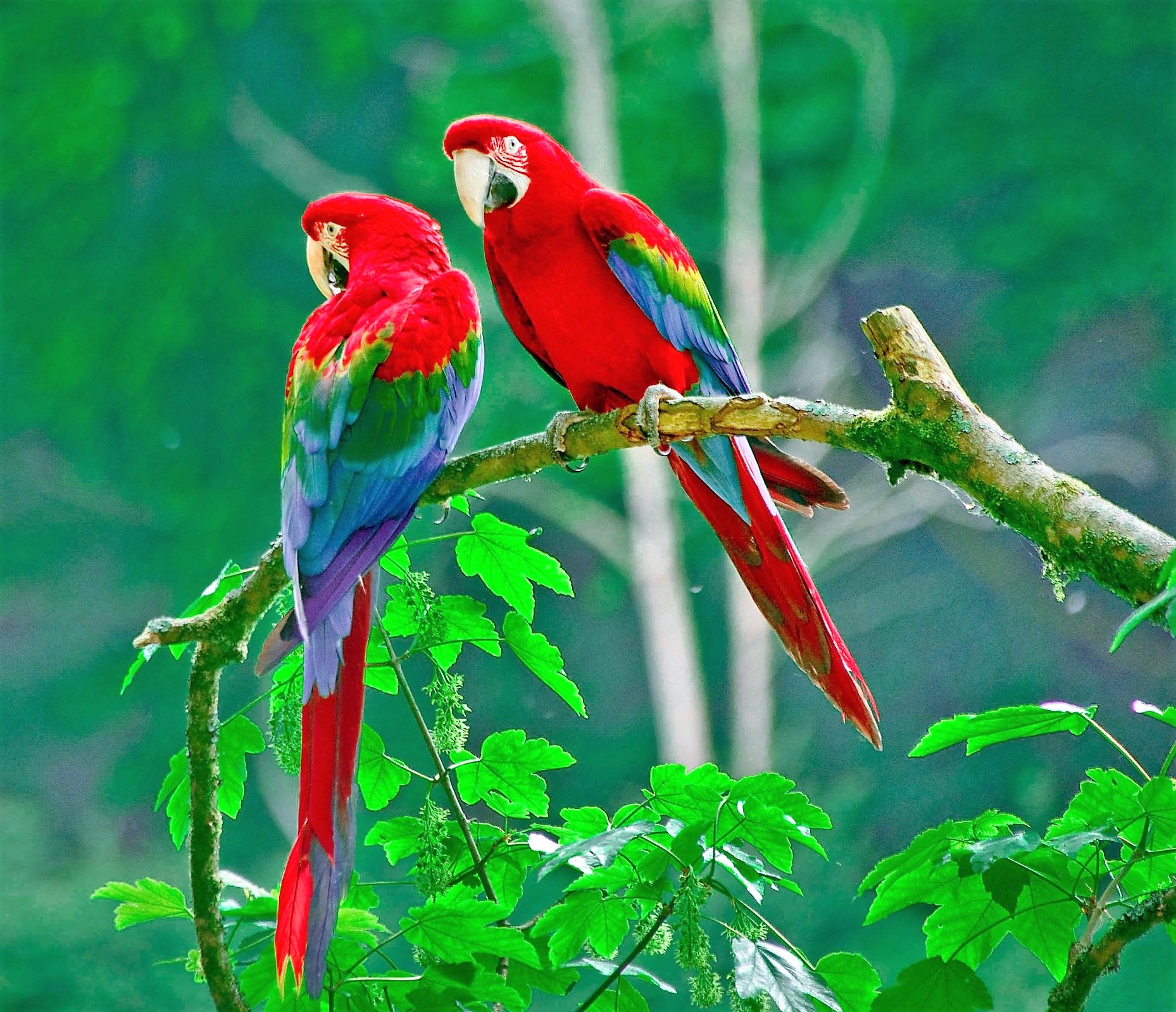 Scarlet Macaws