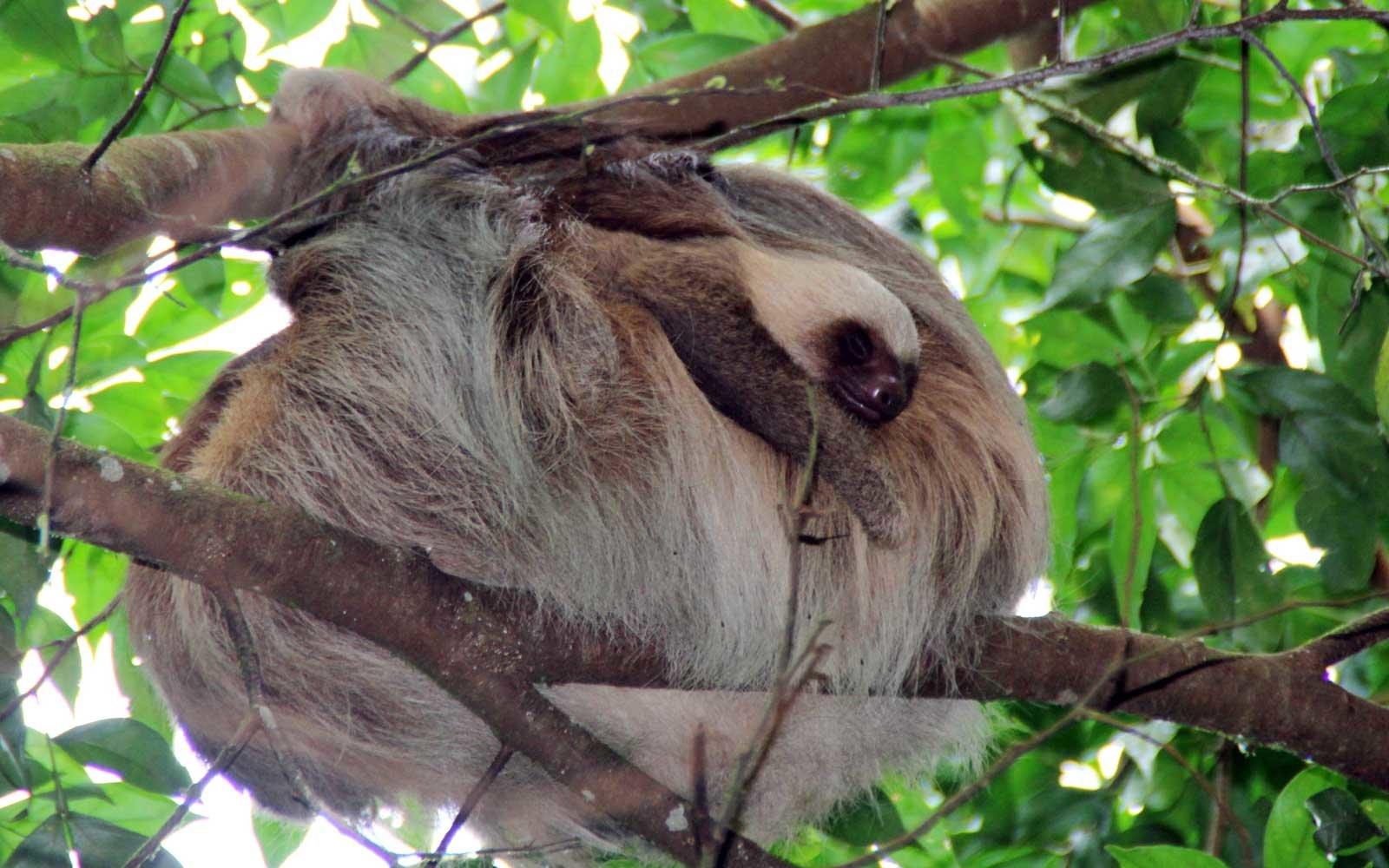 Nayara Sloth