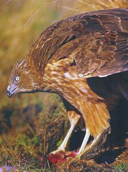 Harrier Eating
