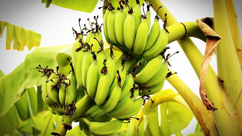 Banana or Plantain Tree