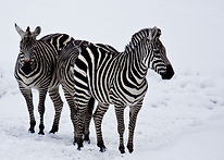 Zebras in the Snow pic.jpg