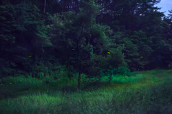 firefly's forest