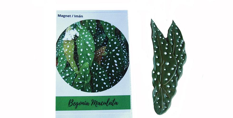Magnet Begonia Imaculata
