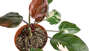 Planta del Mes de Agosto:  Filodendro Erubescens 'Pink Princess'