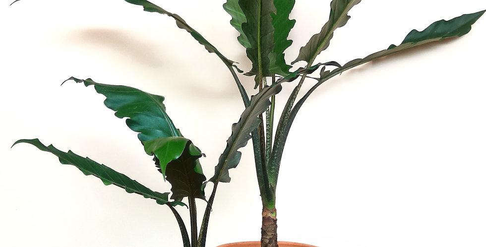 Alocasia Lauterbachiana 'Baroque Sword'