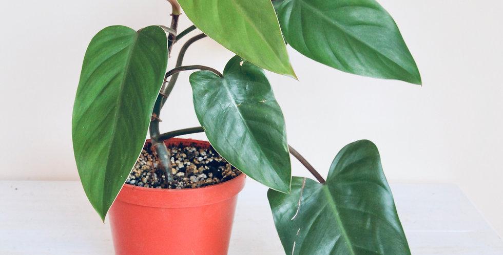 Philodendron Erubescens Red Emerald