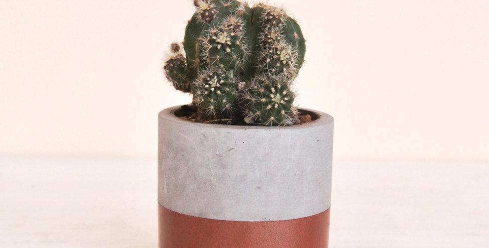 Echinopsis oxygona in concrete pot