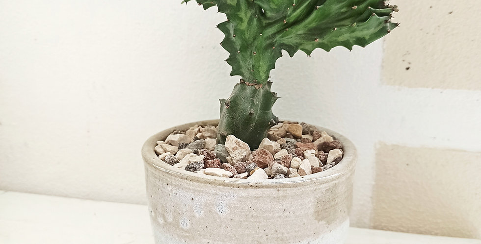 Coral cactus in pottery by La Tombola
