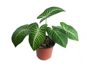 January Plant of the Month:  Caladium Lindenii