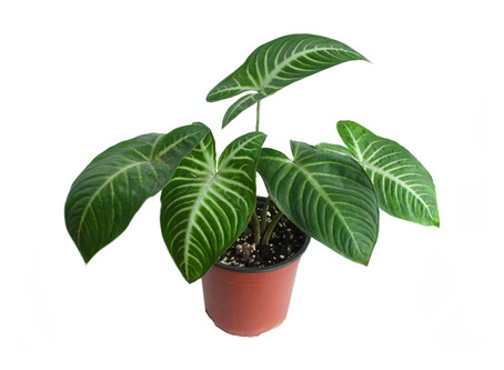 January Plant of the Month:  Caladium Lindenii
