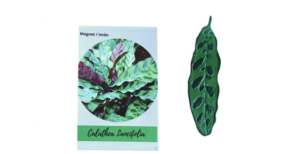 Magnet Calathea lancifolia