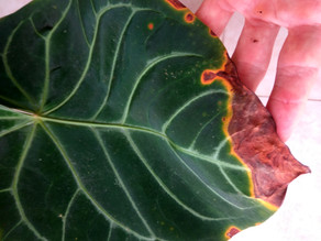 Richard's Plant Care Tips:  Rainy Season - How to Identify, Prevent & Treat Fungal Disease