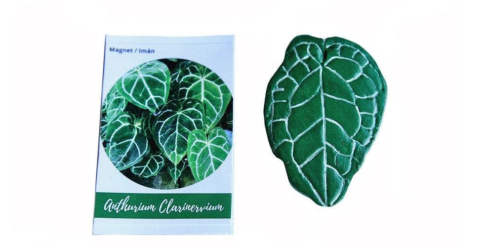 Magnet Anthurium Clarinervium
