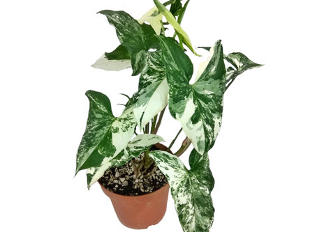 December Plant of the Month: Variegated Syngonium Podophyllum 'Alba Variegata'