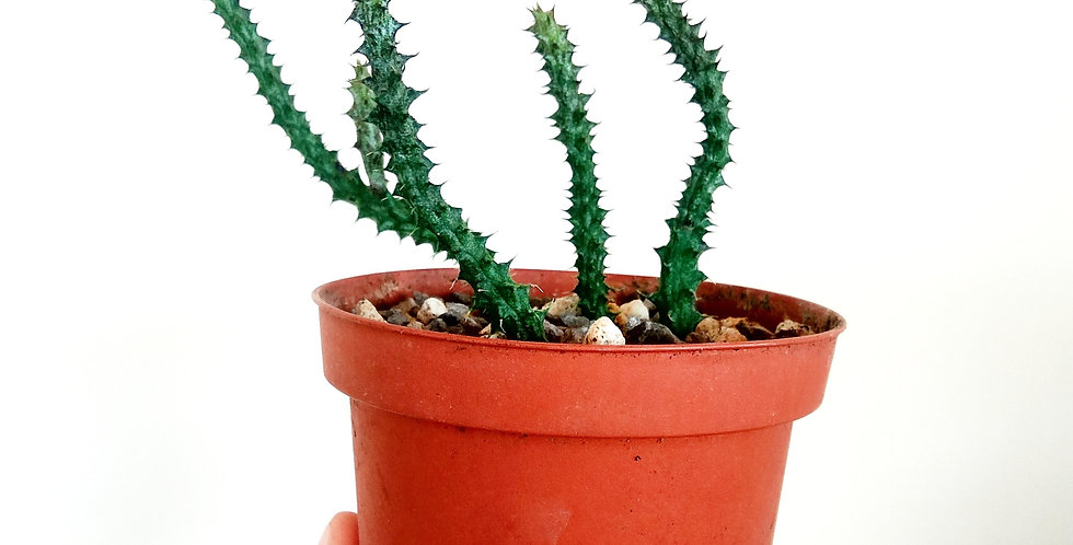 Stapelianthus Decaryi