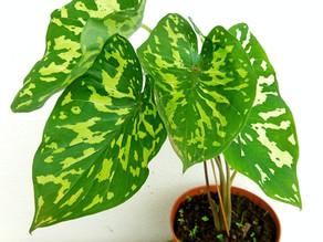 Planta del Mes de Octubre: Caladium 'Hilo Beauty'