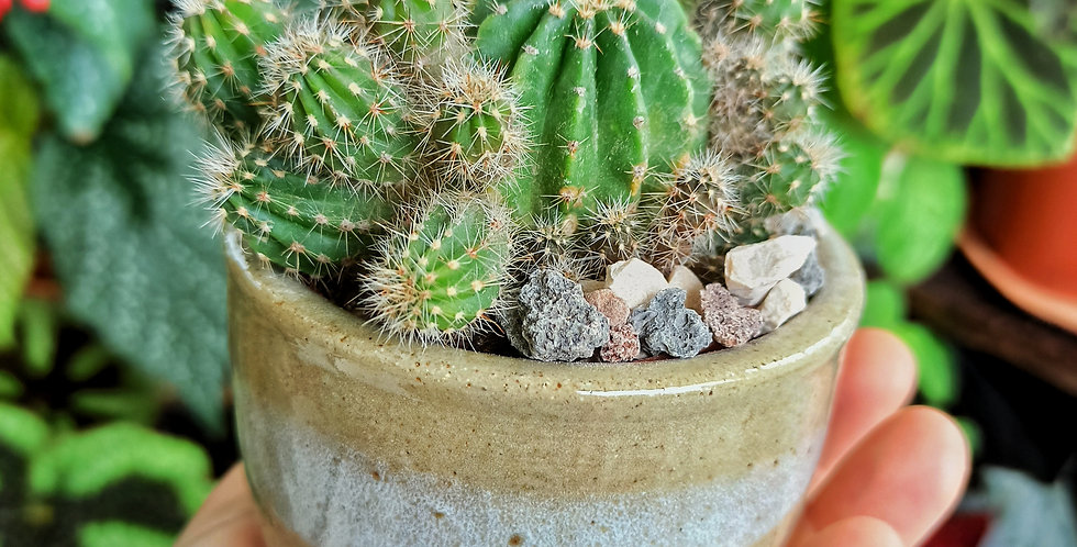 Echinopsis in pottery by La Tombola