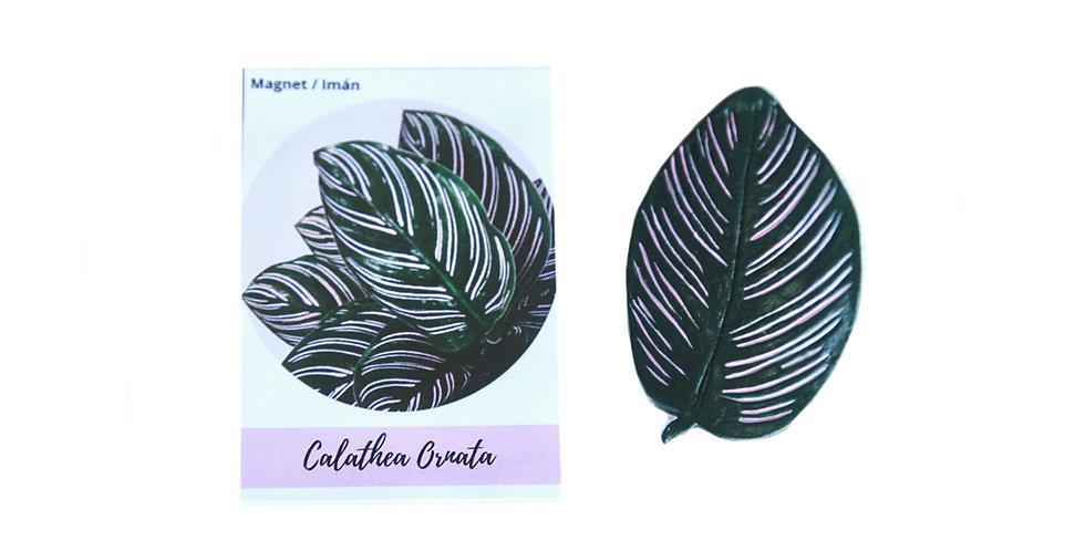 Magnet Calathea ornata