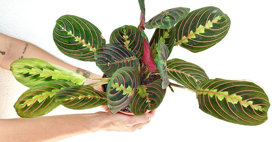 Maranta Leuconeura 'Erythroneura'