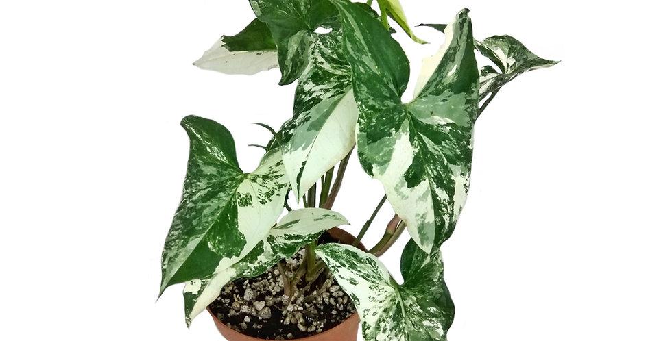 Variegated Syngonium podophyllum 'albo variegata'