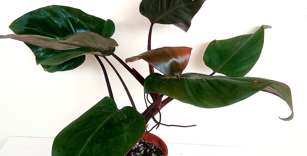 Reverted Pink Princess Philodendron