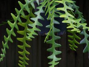 February Plant of the Month:  Epiphyllum Angulier (Fishbone cactus)