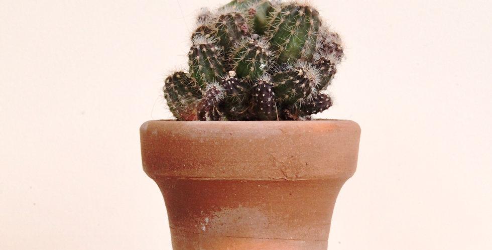 Echinopsis oxygona in terracotta
