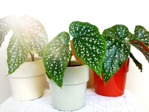 Planta del Mes por Agosto: Begonia Maculata