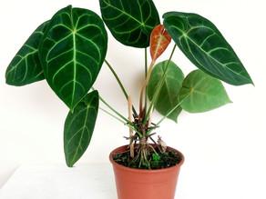 June Plant of The Month: Anthurium Magnificum